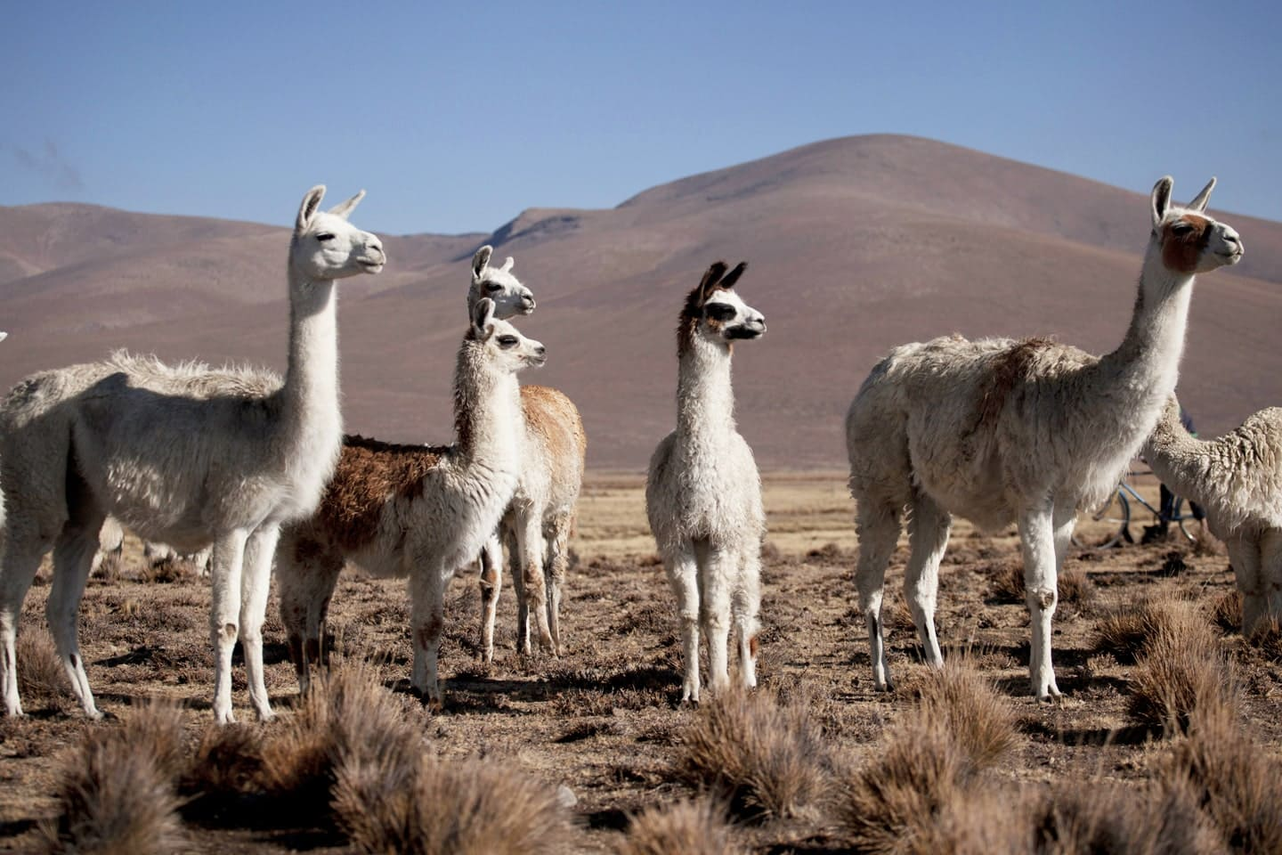Group of alpacas animals in the plateau of Peru