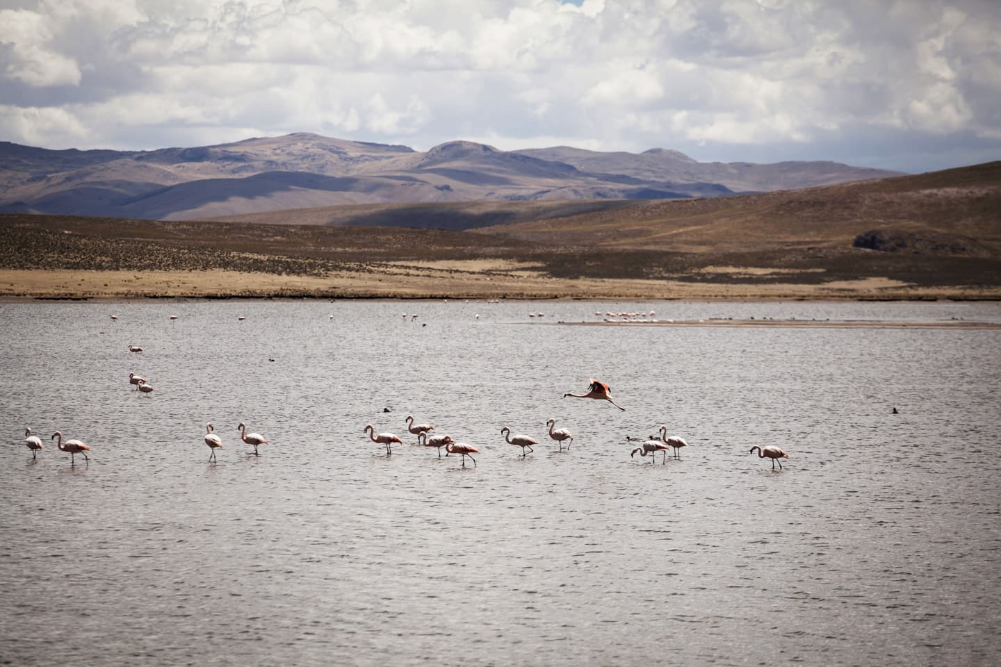 flamingos, birds, animals, nature, lake, landscape - Lagunillas